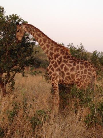 afrika safari giraffe